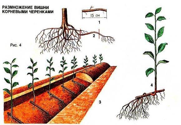 разведение вишни черенками