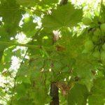 Поражённые листья и грозди