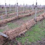 Укрытый виноград под сеном