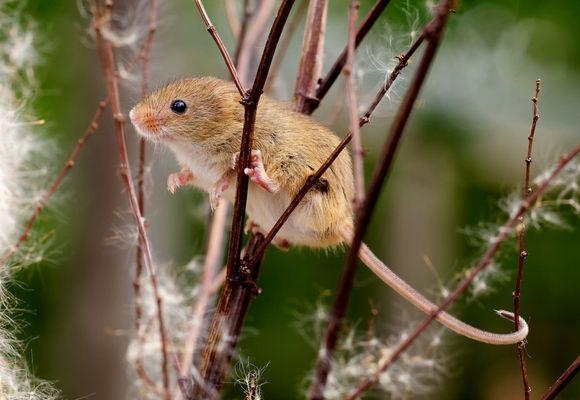 Мышь на ветвях