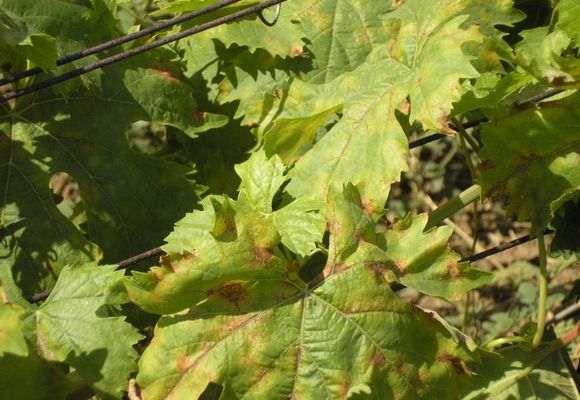 болезнь у винограда