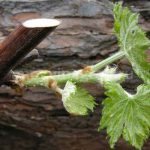 Молодой росток винограда