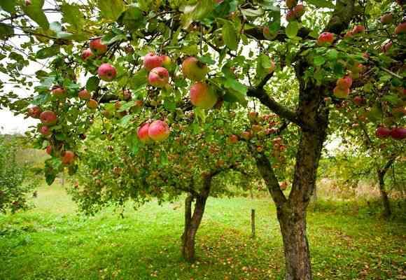 Дерево плодовое