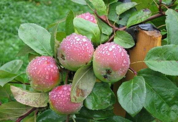 яблони под дождем