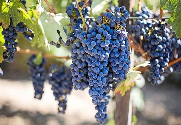 спелые ягоды винограда