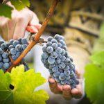 обрезка гроздьев винограда