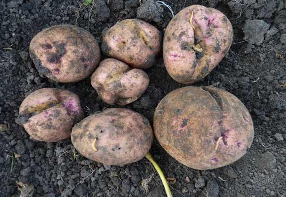 зараженный картофель