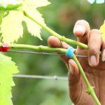 как прививать виноград