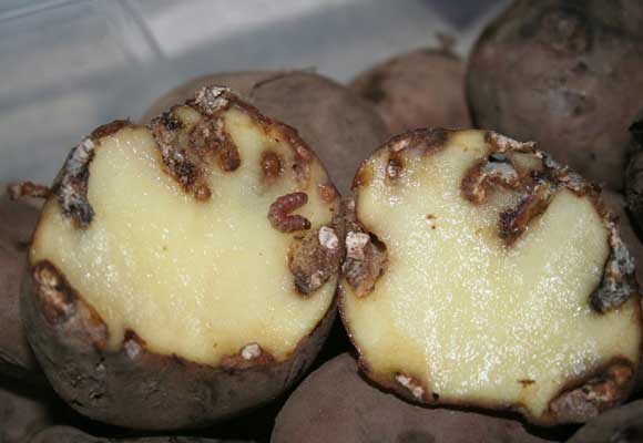 картофель в разрезе