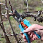 Подрезка виноградной лозы секатором