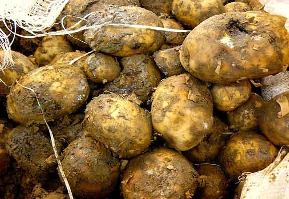 гнилой картофель