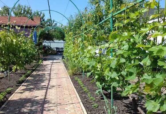проветривание виноградника