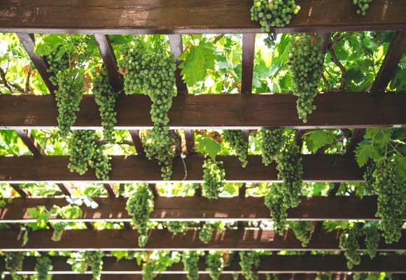 стена для винограда