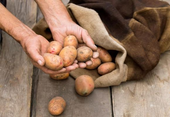 как перебирать урожай
