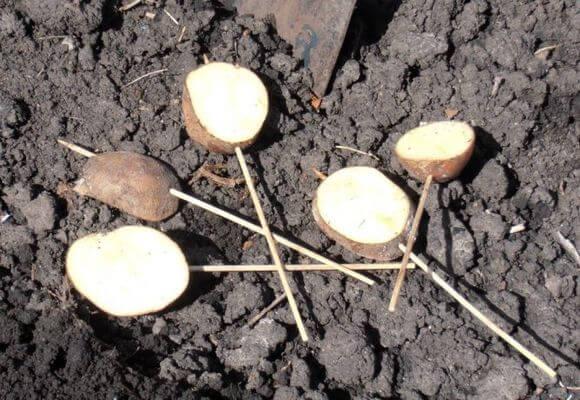 Разрезанная картошка