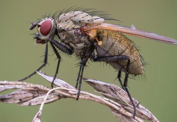 фото луковой мухи