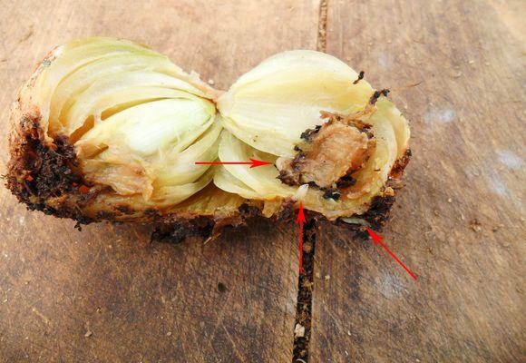 личинки вредителя