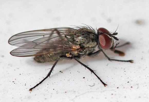 внешний вид мухи