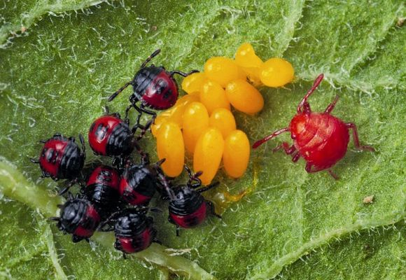 жуки уничтожают личинки