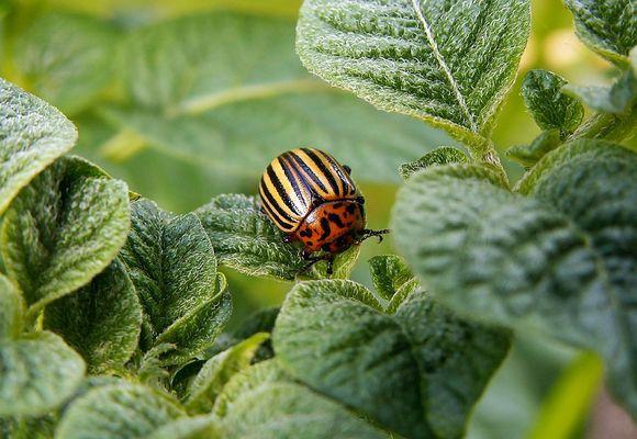 фото колорадского жука на кусте