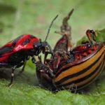 поедание жука
