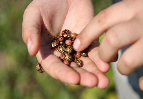 ручной сбор жука