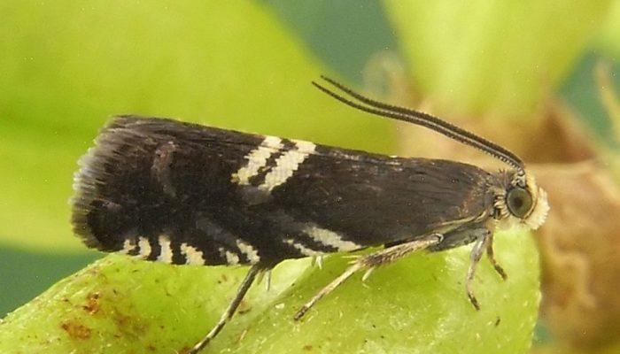 Бабочка — плодожорка