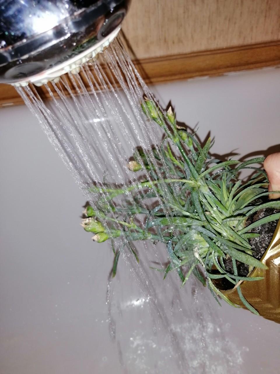 паутинный клещ теплый душ