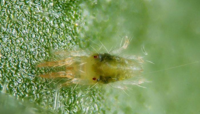 цикламеновый паутинный клещ