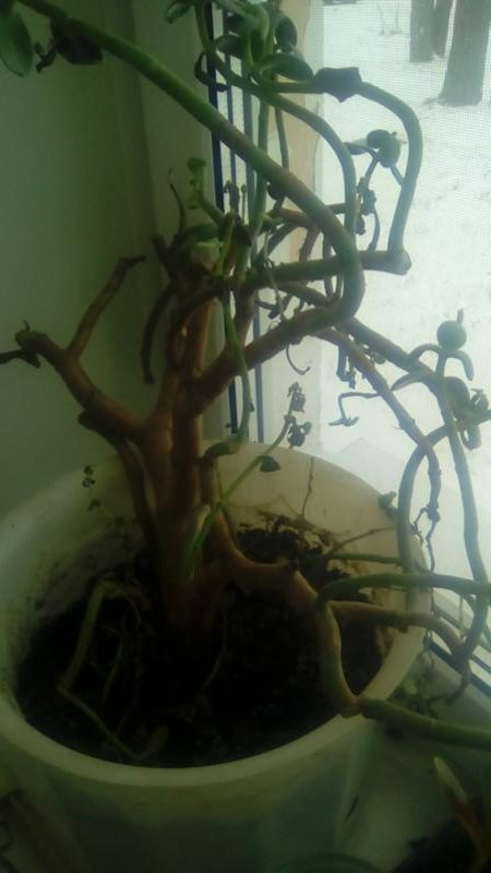 денежное дерево толстянка гниль стеблей и корневой системы