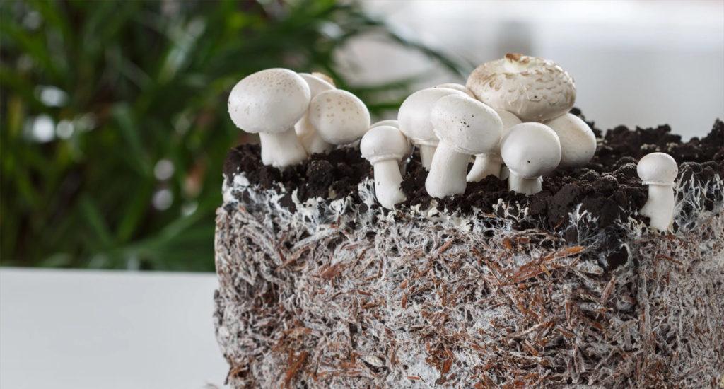 грибы из мицелия