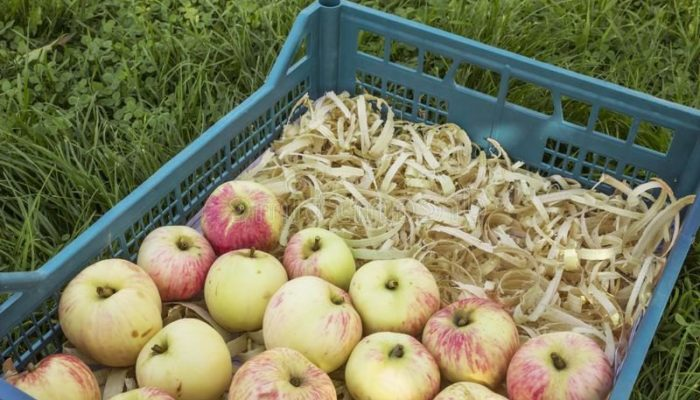 хранение яблок в опилках