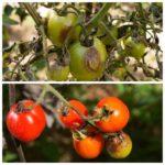 болезни томатов1